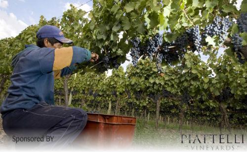 piattelli-malbec-vineyard-harvest