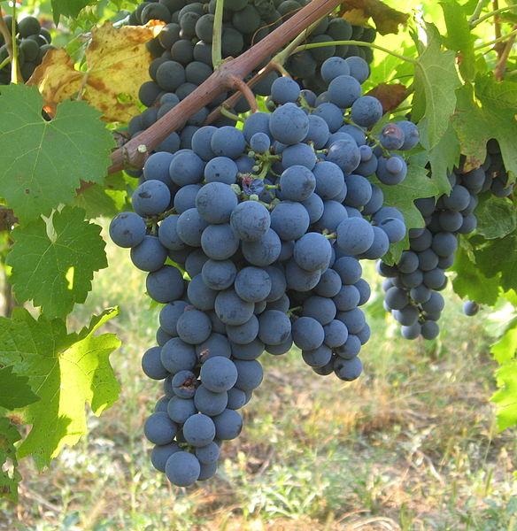 carmenere-grape-bunch