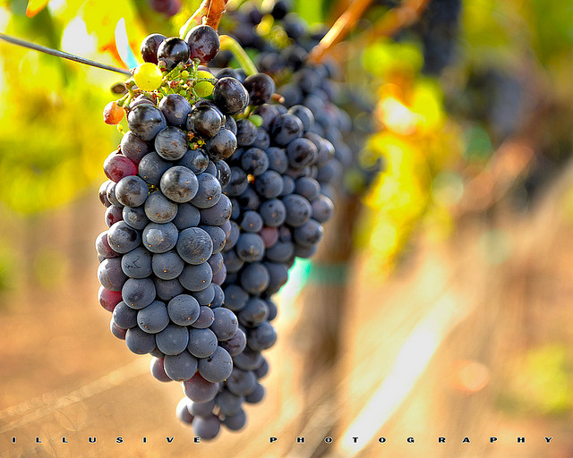 Grape of the week syrah shiraz - Table grapes vs wine grapes ...